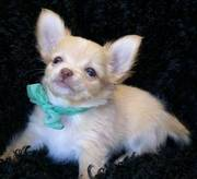 Chihuahua puppies ( williamsdawrson1@ymail.com)