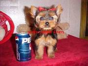 New Year Gift Yorkshire Terrier(teacup) puppies
