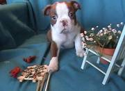 Boston Terrier Puppies For Excellent Homes