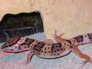 Baby Leopard Geckos to go