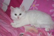 BEAUTIFUL WHITE FLUFFY HALF BIRMAN KITTENS BOY & GIRL CAT